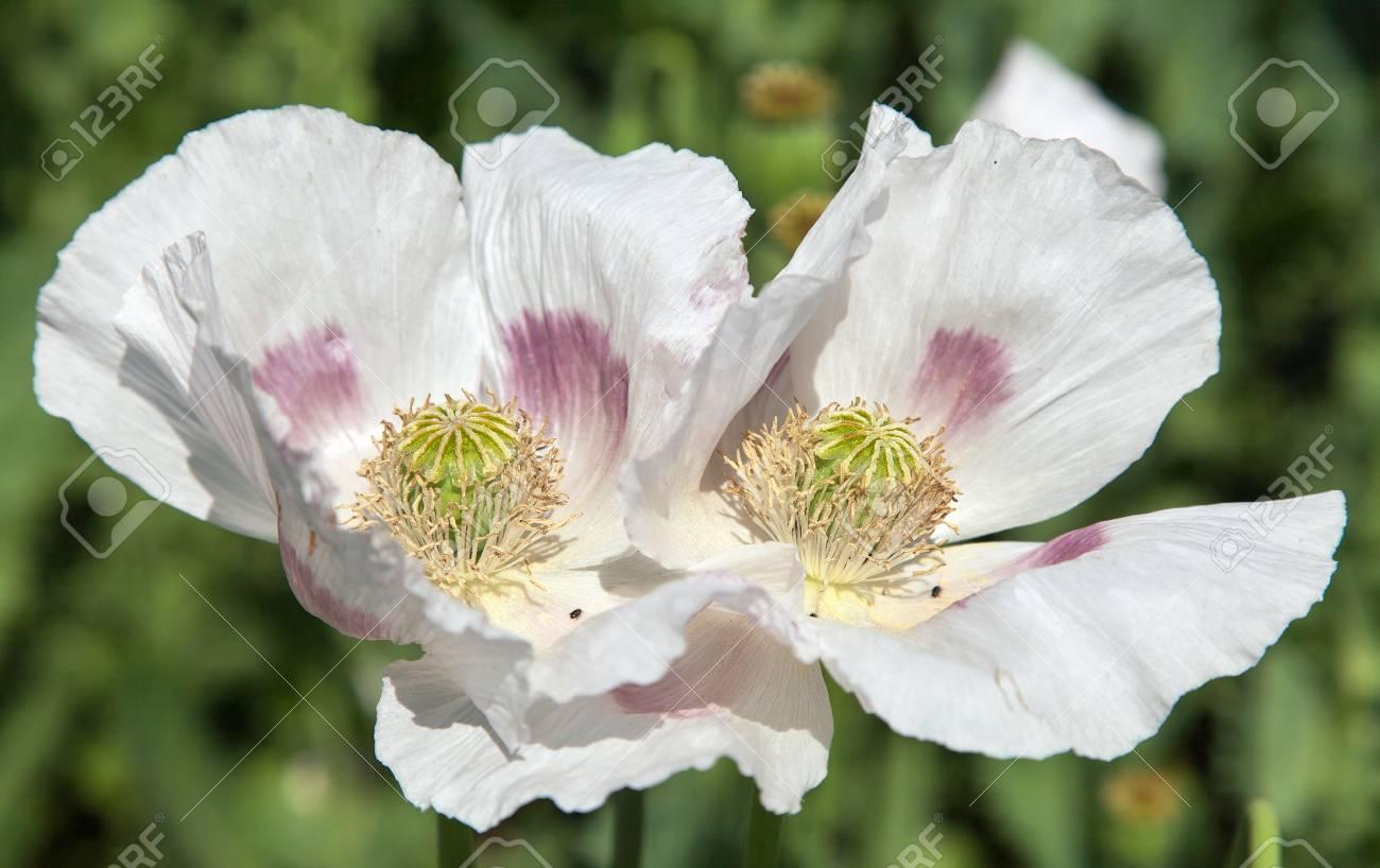 Detail Of Flowering Opium Poppy In Latin Papaver Somniferum Poppy