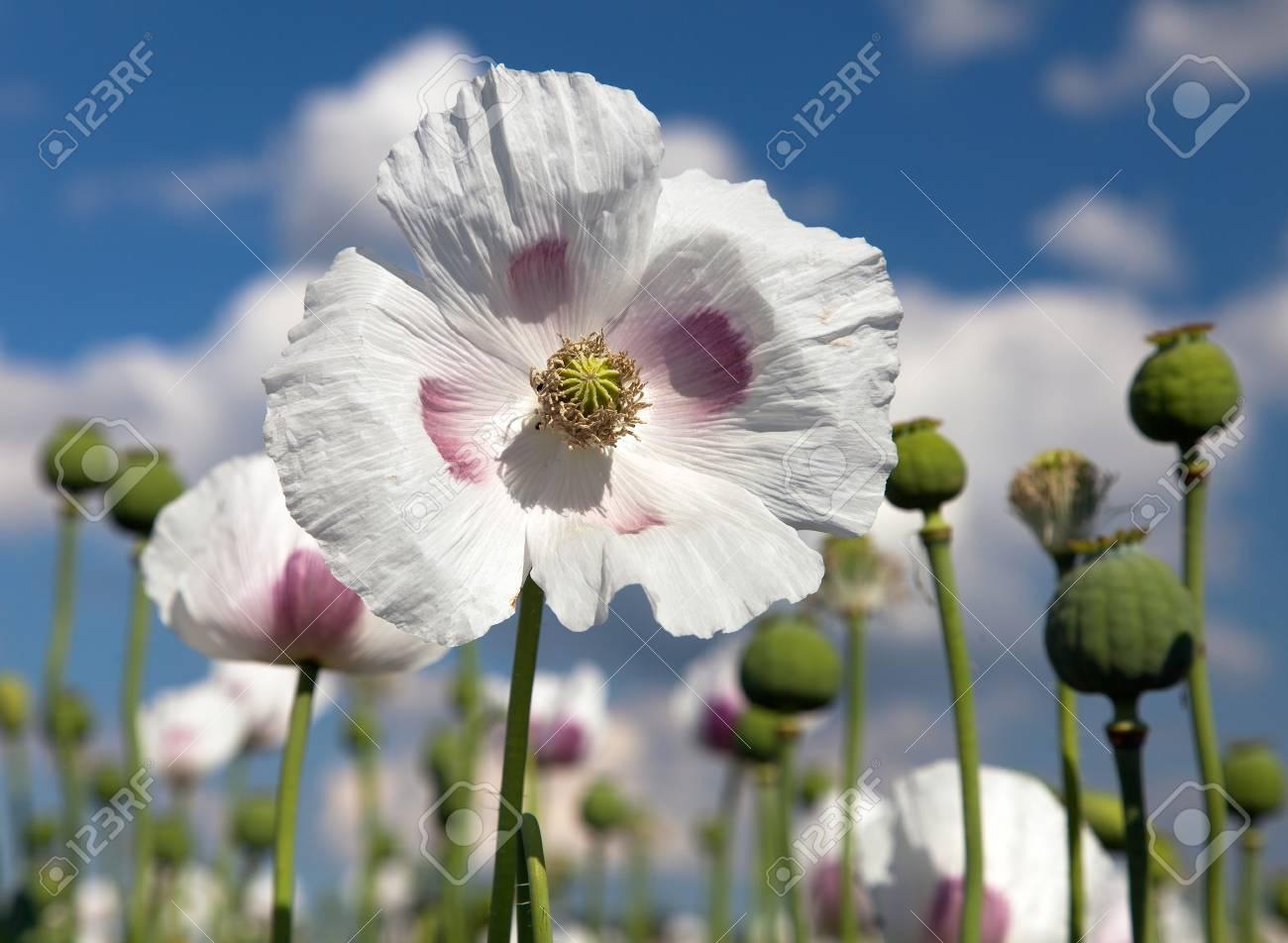 Detail Of Flowering Opium Poppy In Latin Papaver Somniferum Stock
