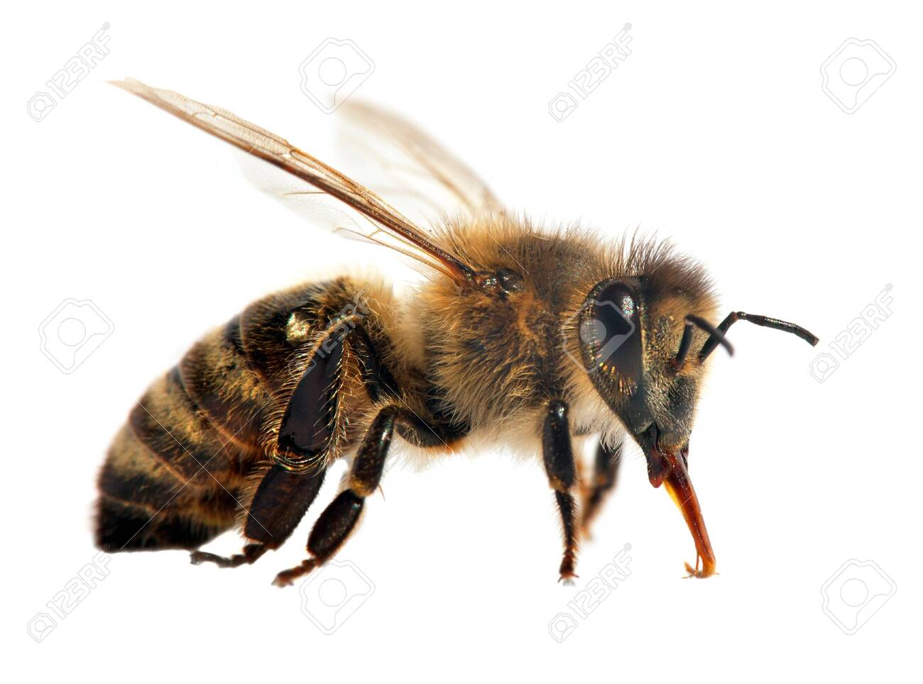 detail of bee or honeybee in Latin Apis Mellifera, european or western honey bee isolated on the white background - 121960179