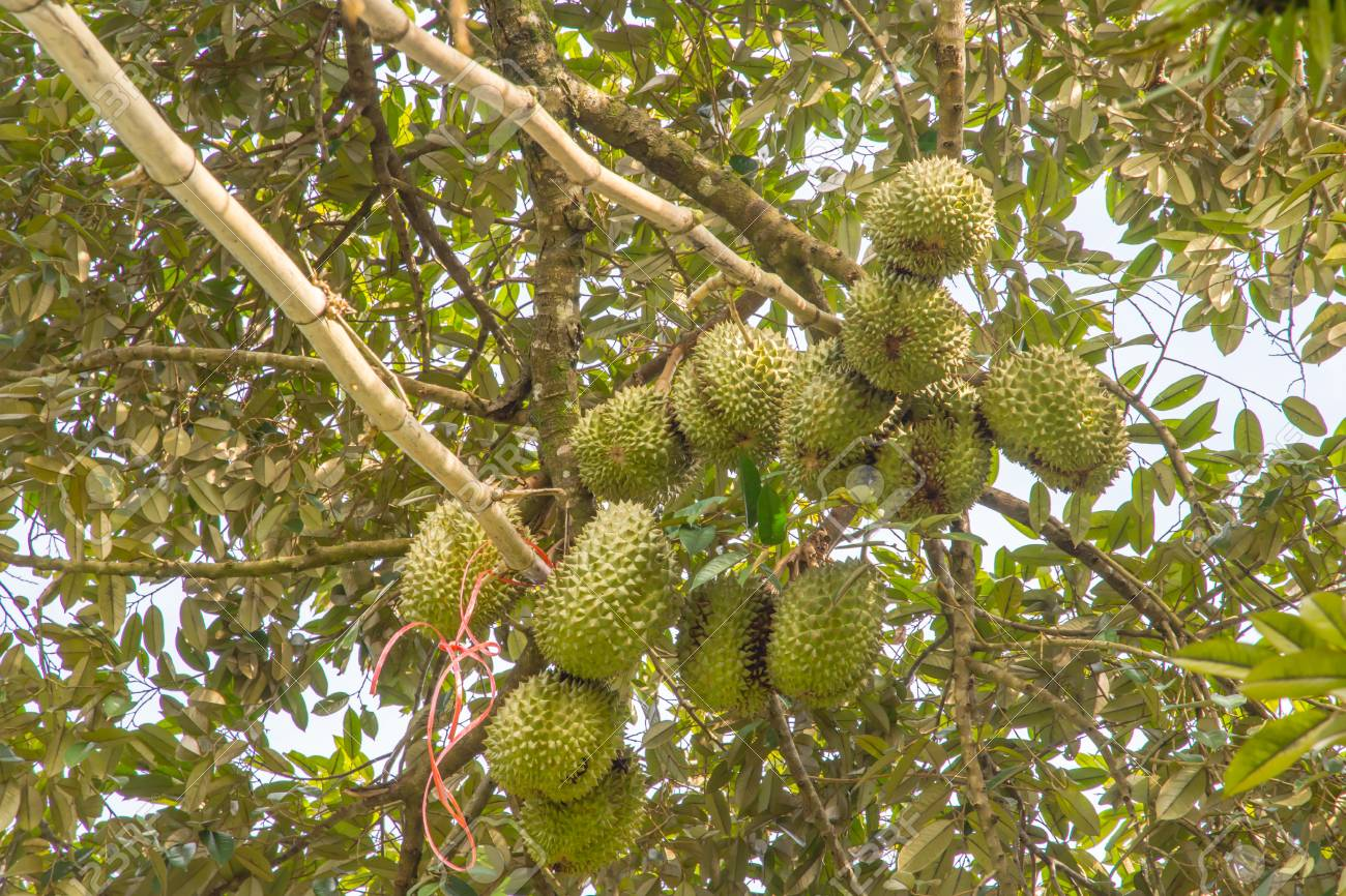 Durian trees are very fruitful