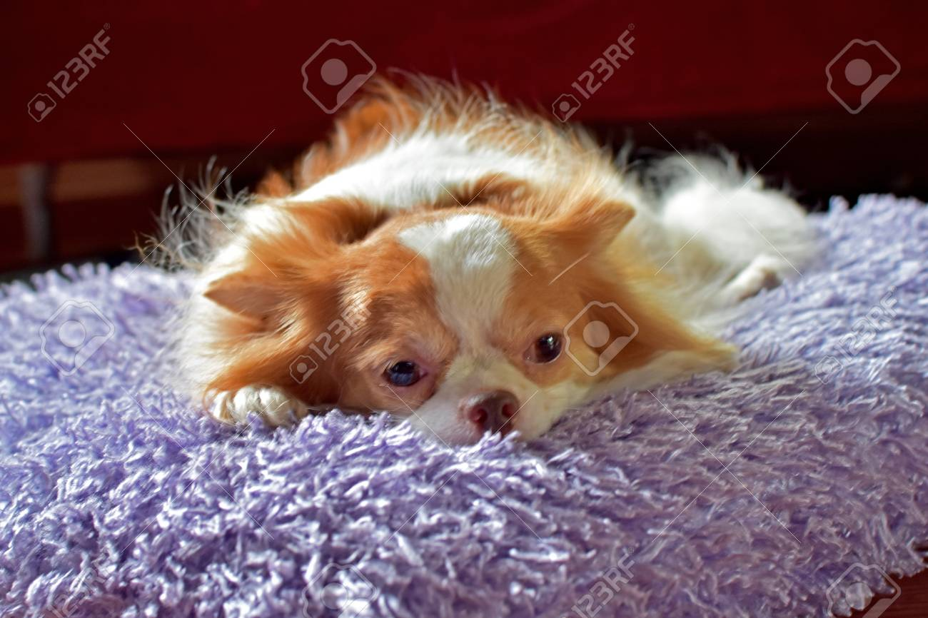 chihuahua puppies with cute looks, sleeping under the red bed
