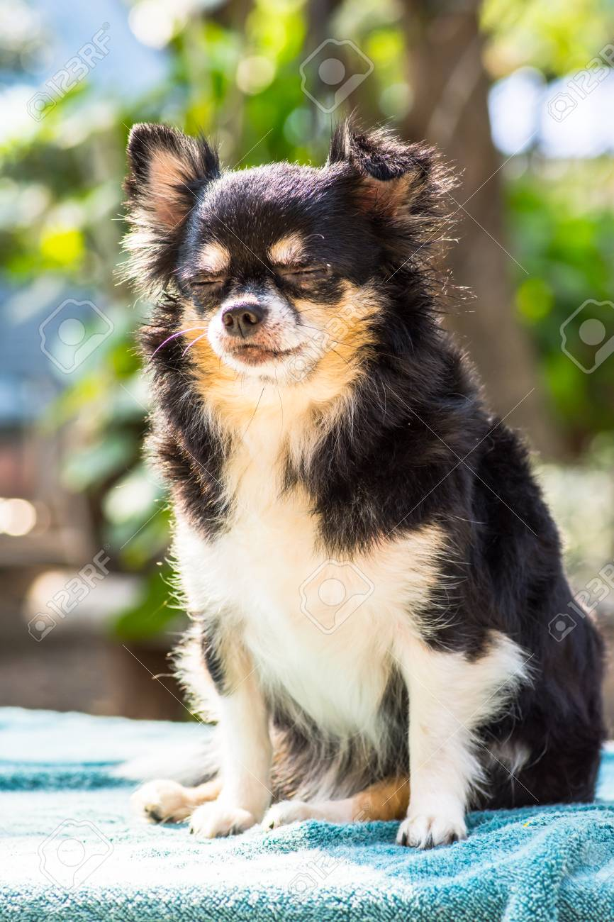 Chihuahua Puppies With Cute Looks Small Black Feathers Stock Photo