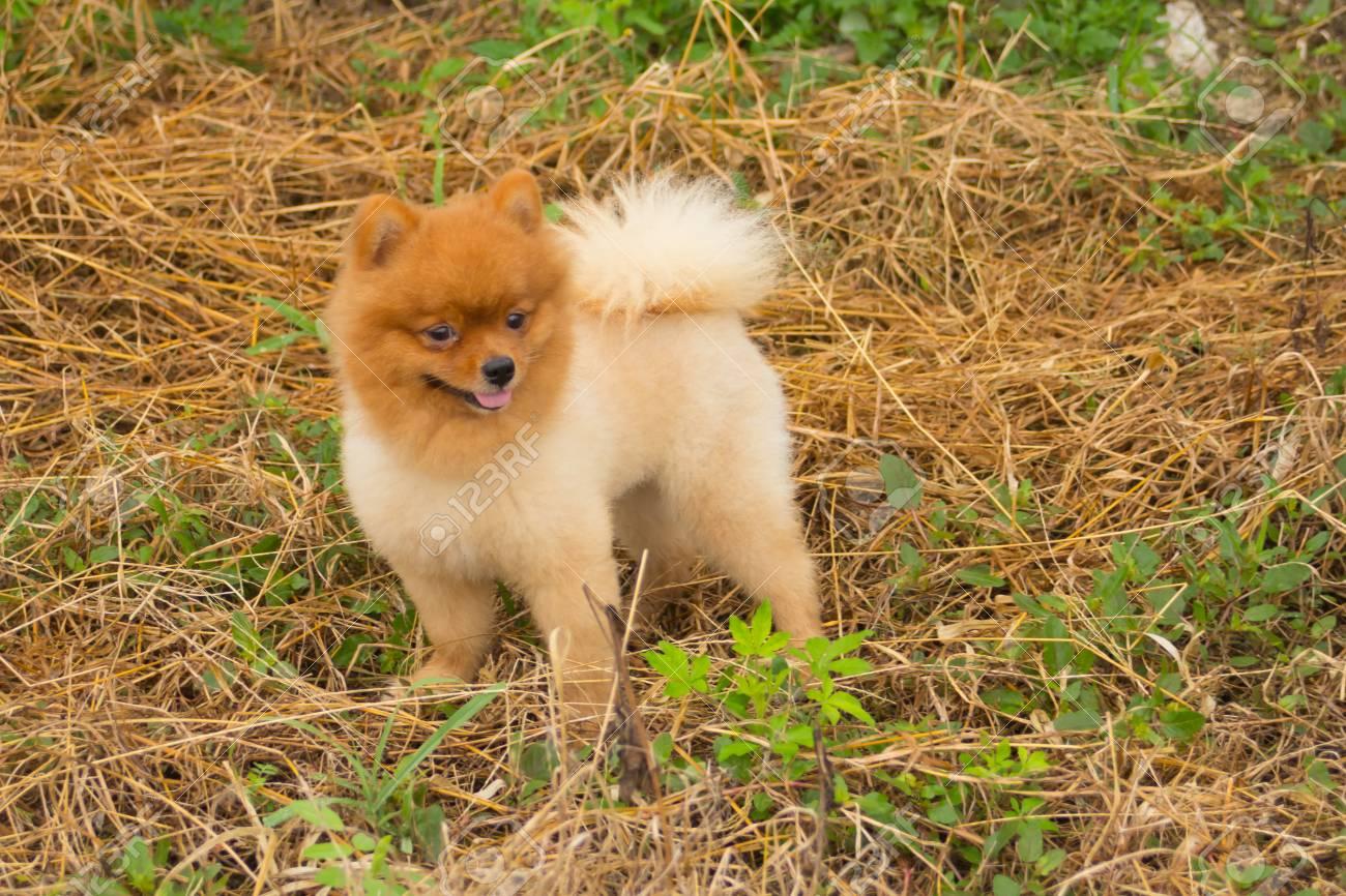Best Pomeranian Brown Adorable Dog - 67668084-pomeranian-in-grass-cute-dog-pet  HD_743148  .jpg