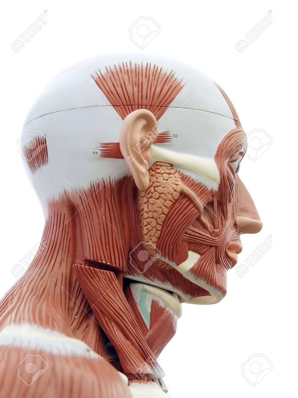 Anatomía Humana - Estructura De Los Músculos Y De Los Tendones ...