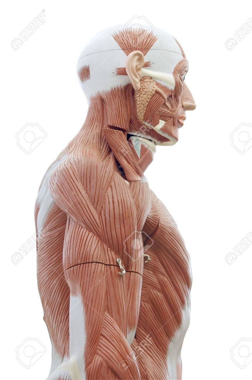 Human Anatomy - Structure Of Head And Trunk Muscles And Tendons ...