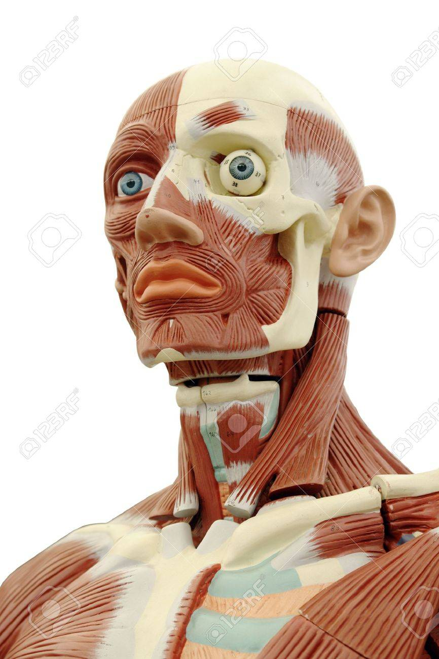 Human Anatomy Structure Of Head Muscles And Tendons Stock Photo