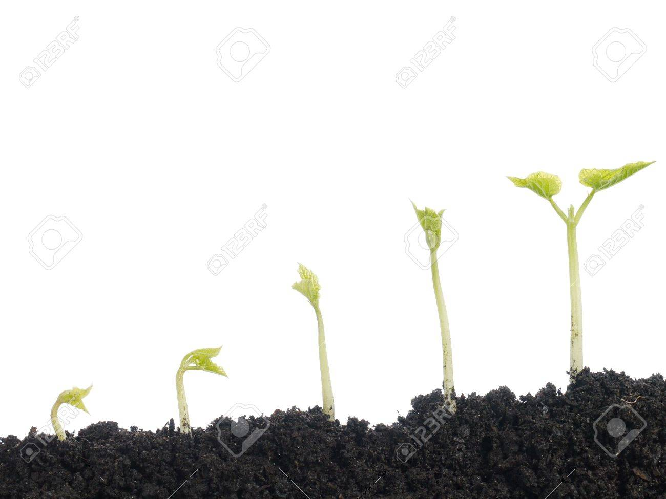 Five vegetation stages of bean plant shot over white background Stock Photo - 4403942