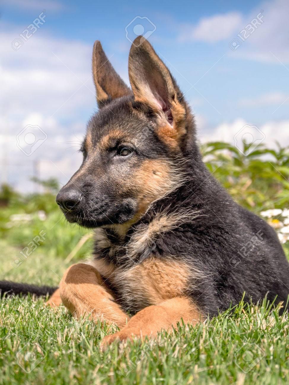 ジャーマン シェパード 子犬
