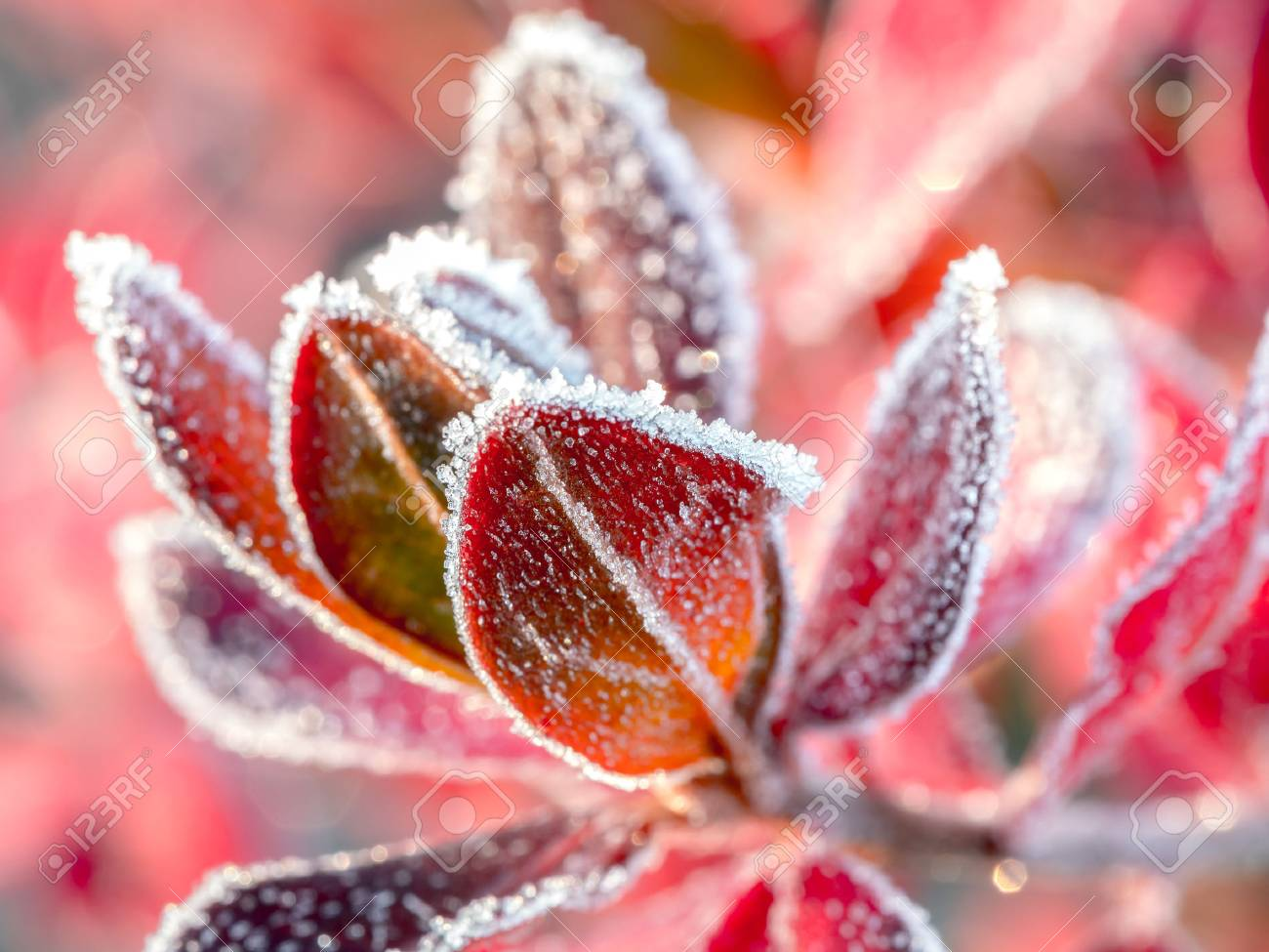 Closeup of barberry leaves covered with morning frost - 47938480