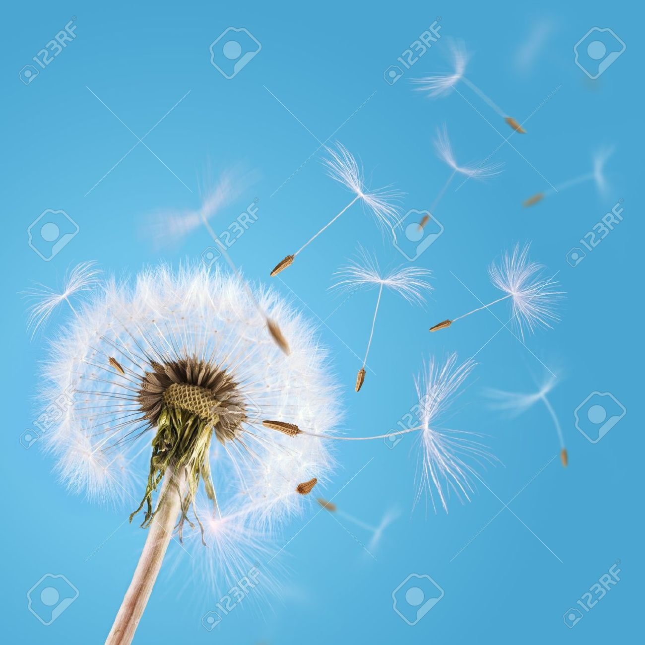 Overblown dandelion with seeds flying away with the wind - 13044613