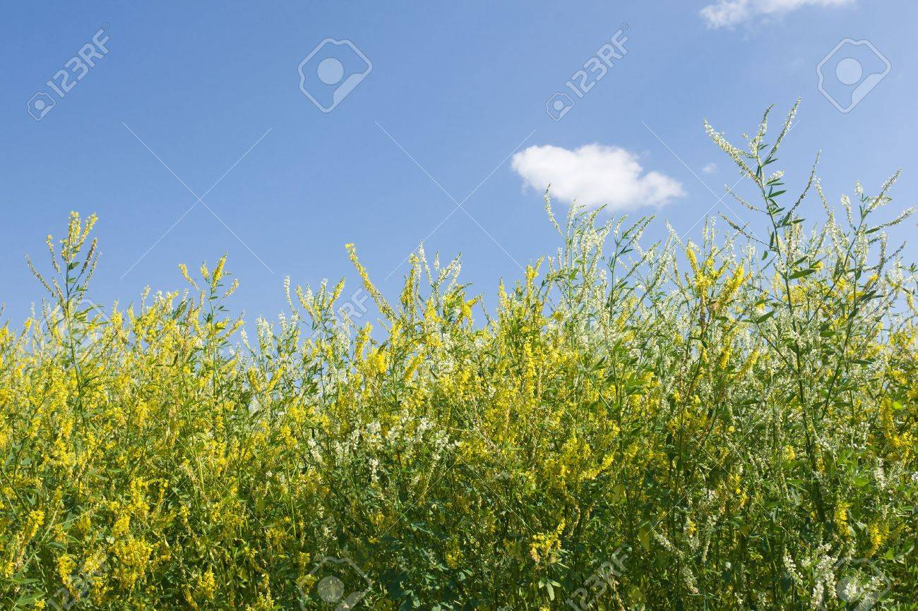 Grass With Small Yellow Flowers On Blue Sky Stock Photo Picture And