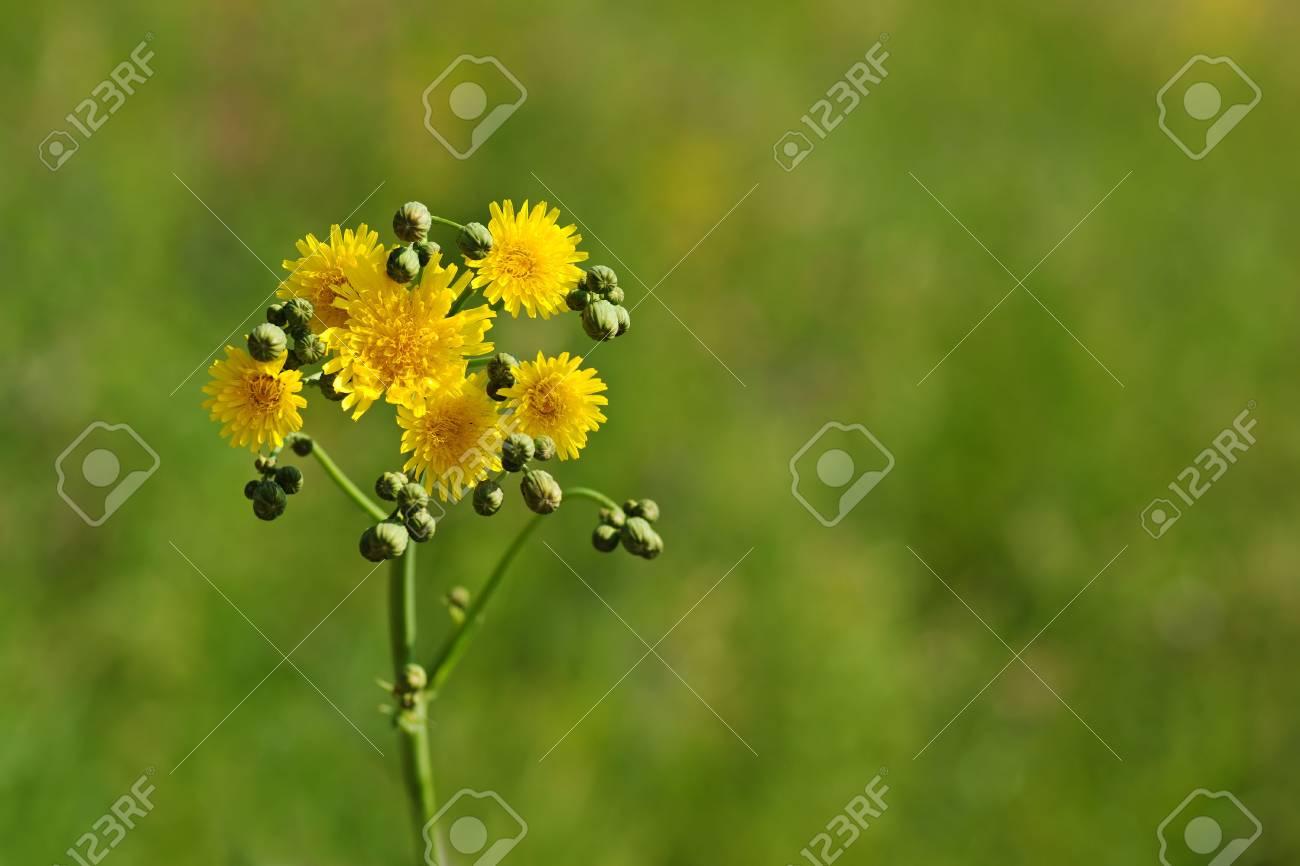 dandelion on green grass backgound Stock Photo - 3702205