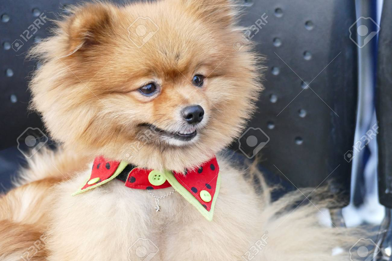 Cute Brown Pomeranian Dog Sitting On The Chair Stock Photo Picture