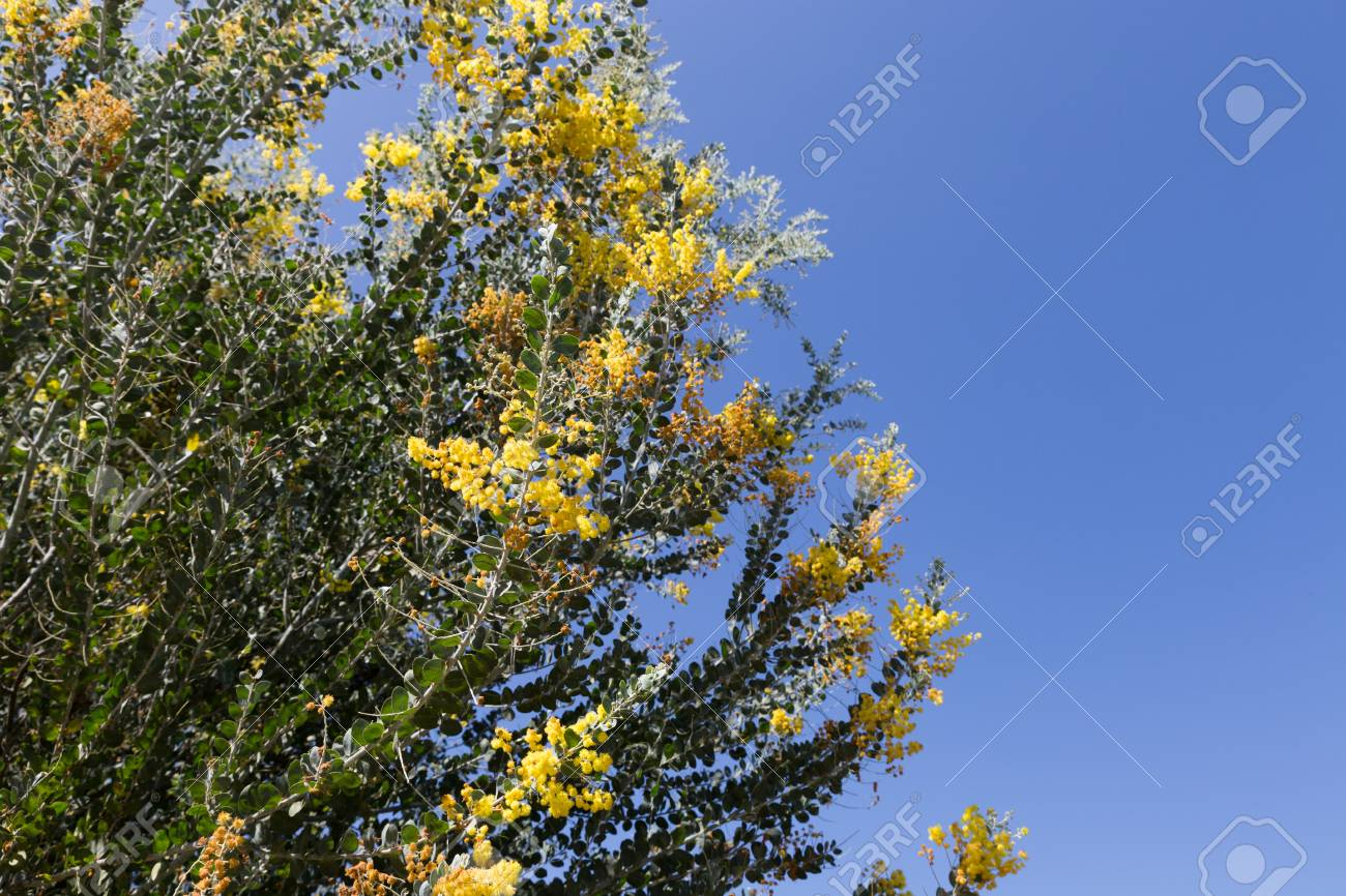 Blooming yellow flower of pearl acacia tree stock photo picture and blooming yellow flower of pearl acacia tree stock photo 52203580 mightylinksfo