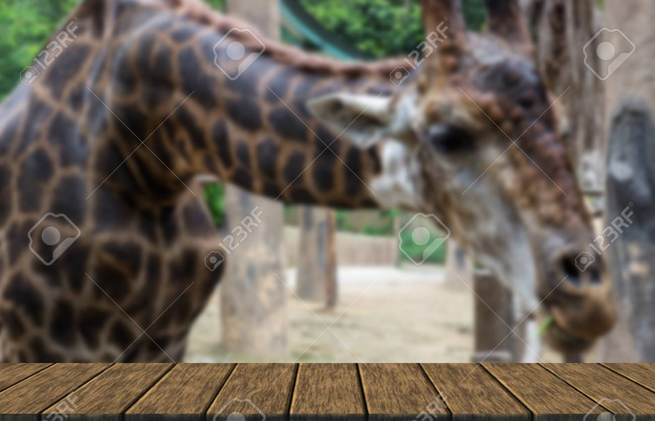 A Giraffe Bend Down For Vegetable Feeding (blur Background With Wood Table  Top For Display