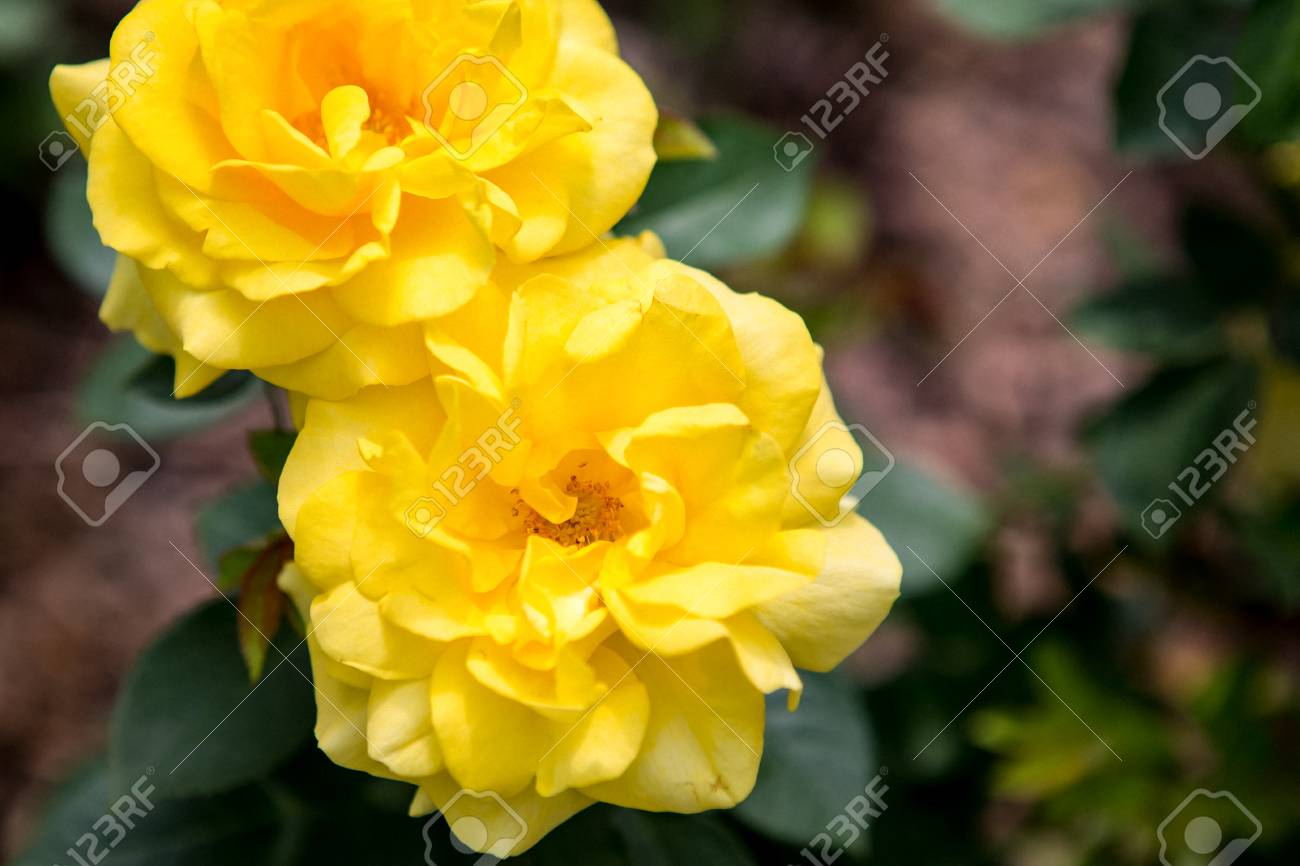 Grain Noise Filter The Beautiful Yellow Rose Flower On Blurred