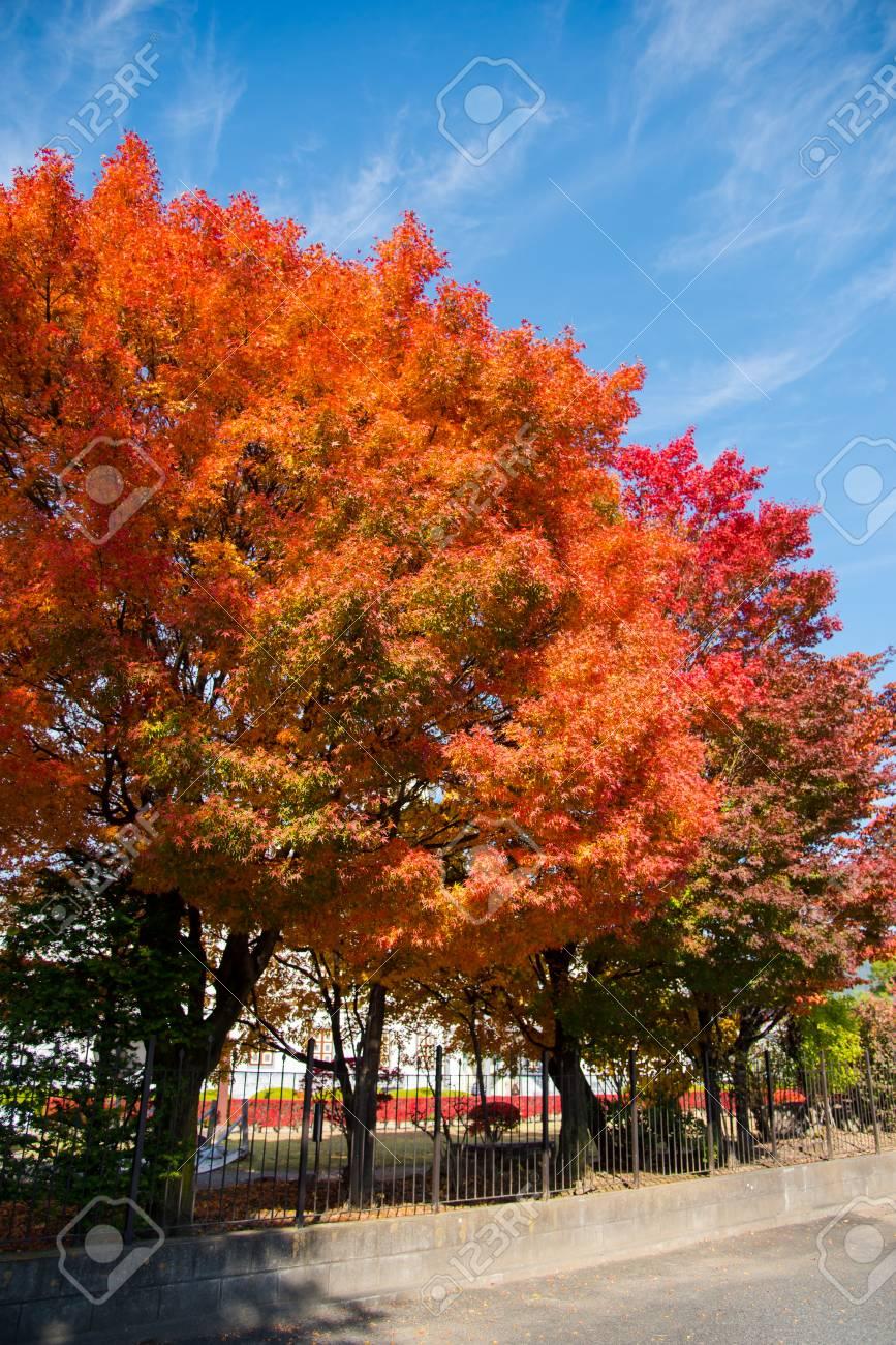 Acero Blu Giapponese foglie di acero variopinte al lato di una strada con la priorità bassa del  cielo blu, stagione di autunno del giappone. preso a matsumoto, prefettura