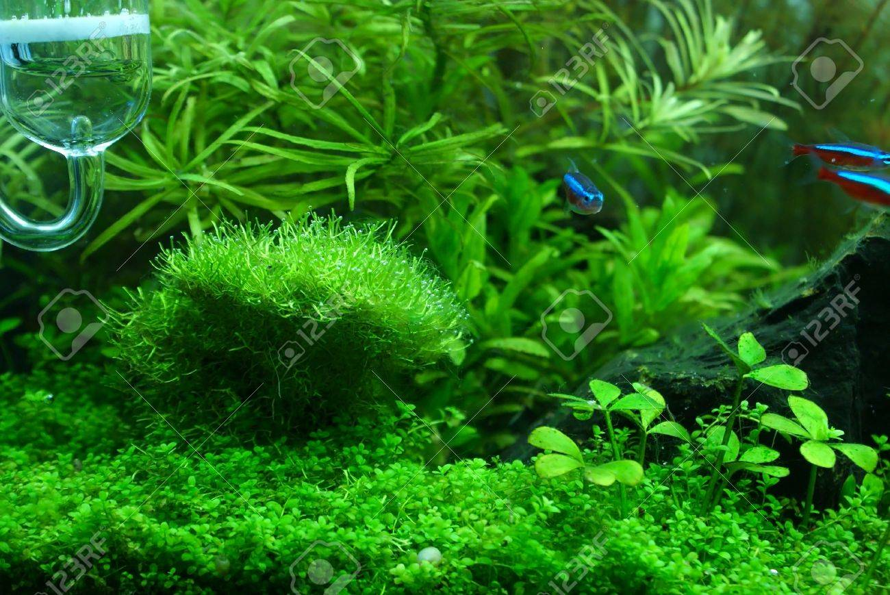 This my aquarium plant  Riccia is a main plant in photo , forground plant is Glossostigma and background plant is ludwigia and rotala Stock Photo - 17567705