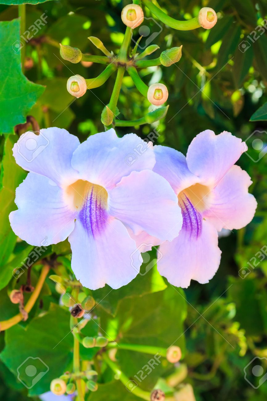 Beautiful blue trumpet vine flower laurel clock vine bengal beautiful blue trumpet vine flower laurel clock vine bengal trumpet thunbergia grandiflora roxb in izmirmasajfo Images