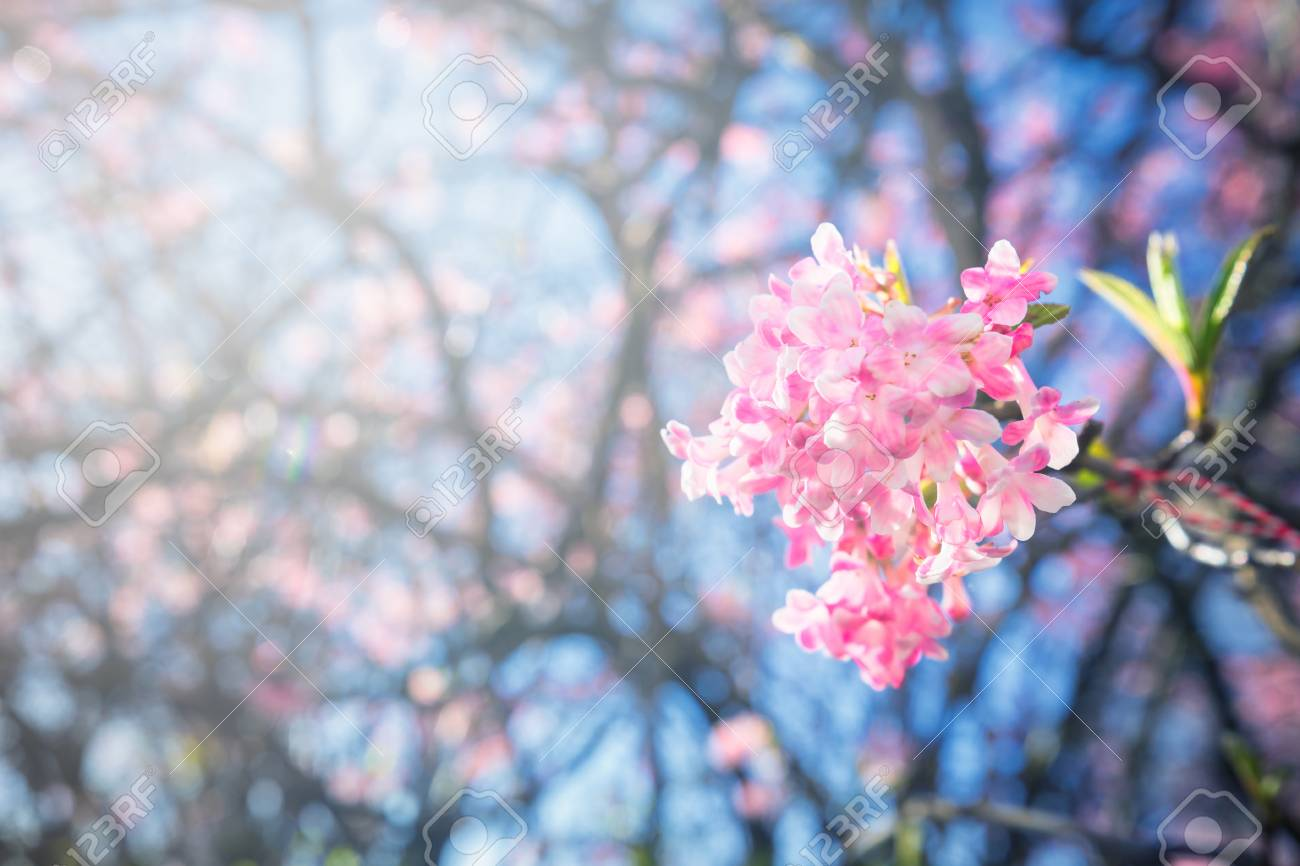 Closeup Of Sakura Flower In Spring Season At Copenhagen Denmark