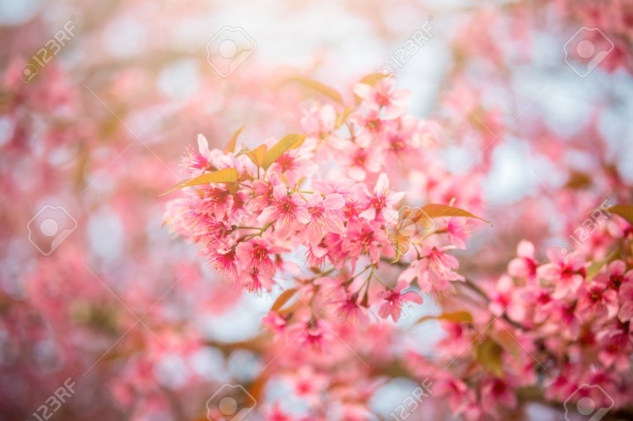 Closeup Of Sakura Flower In Spring Season At Japan Stock Photo