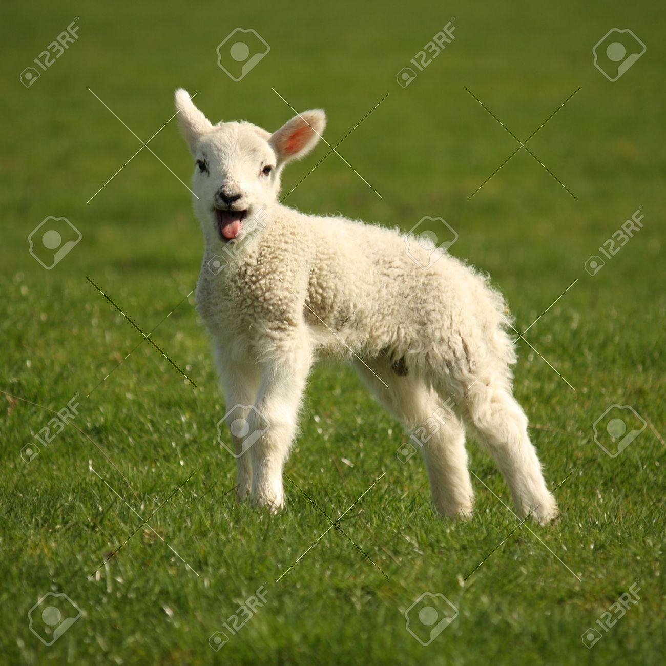 Lamb Cute Leap Leaping Jump Source