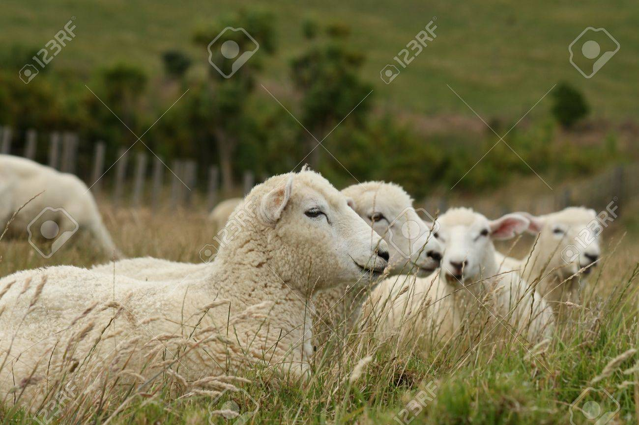resting sheep Stock Photo - 17629271
