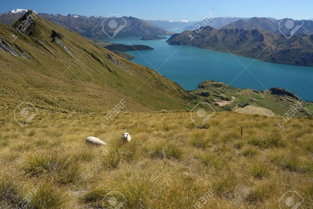 sheep grazing above lake Wanaka, New Zealand Stock Photo - 17865465