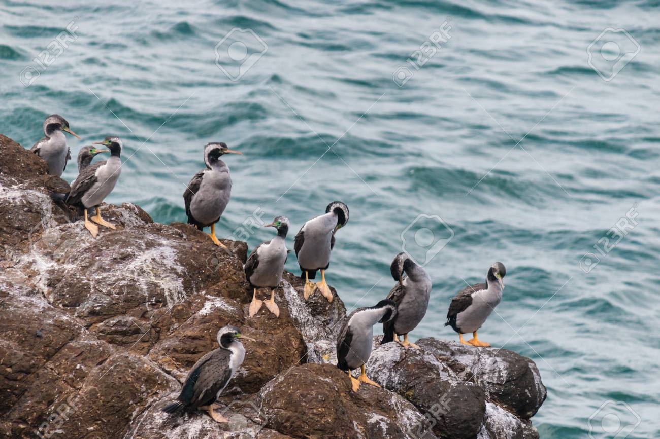 spotted shags on cliff ledge Stock Photo - 23266624