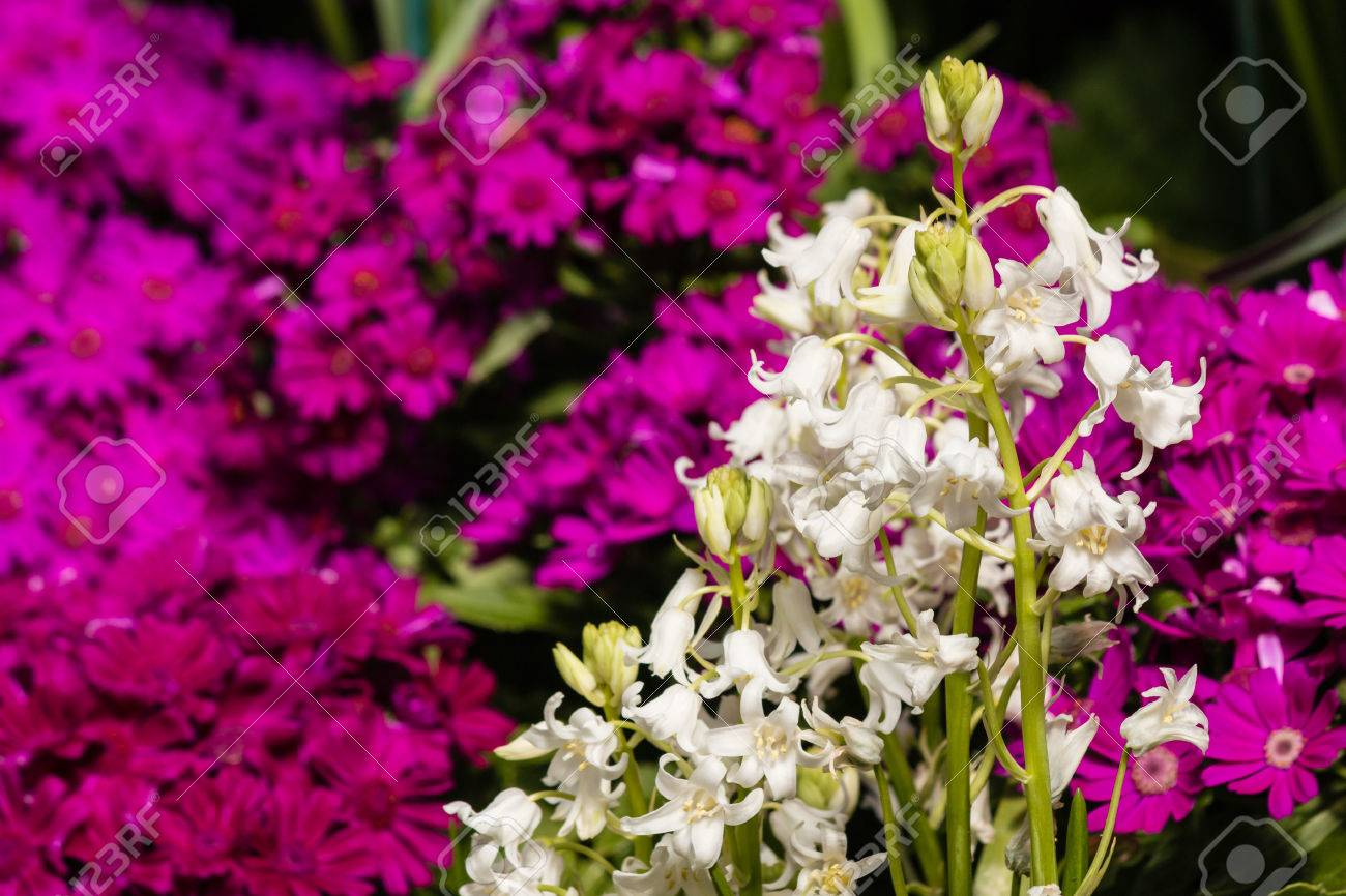 White Bluebells With Purple Primula Flowers Stock Photo Picture And