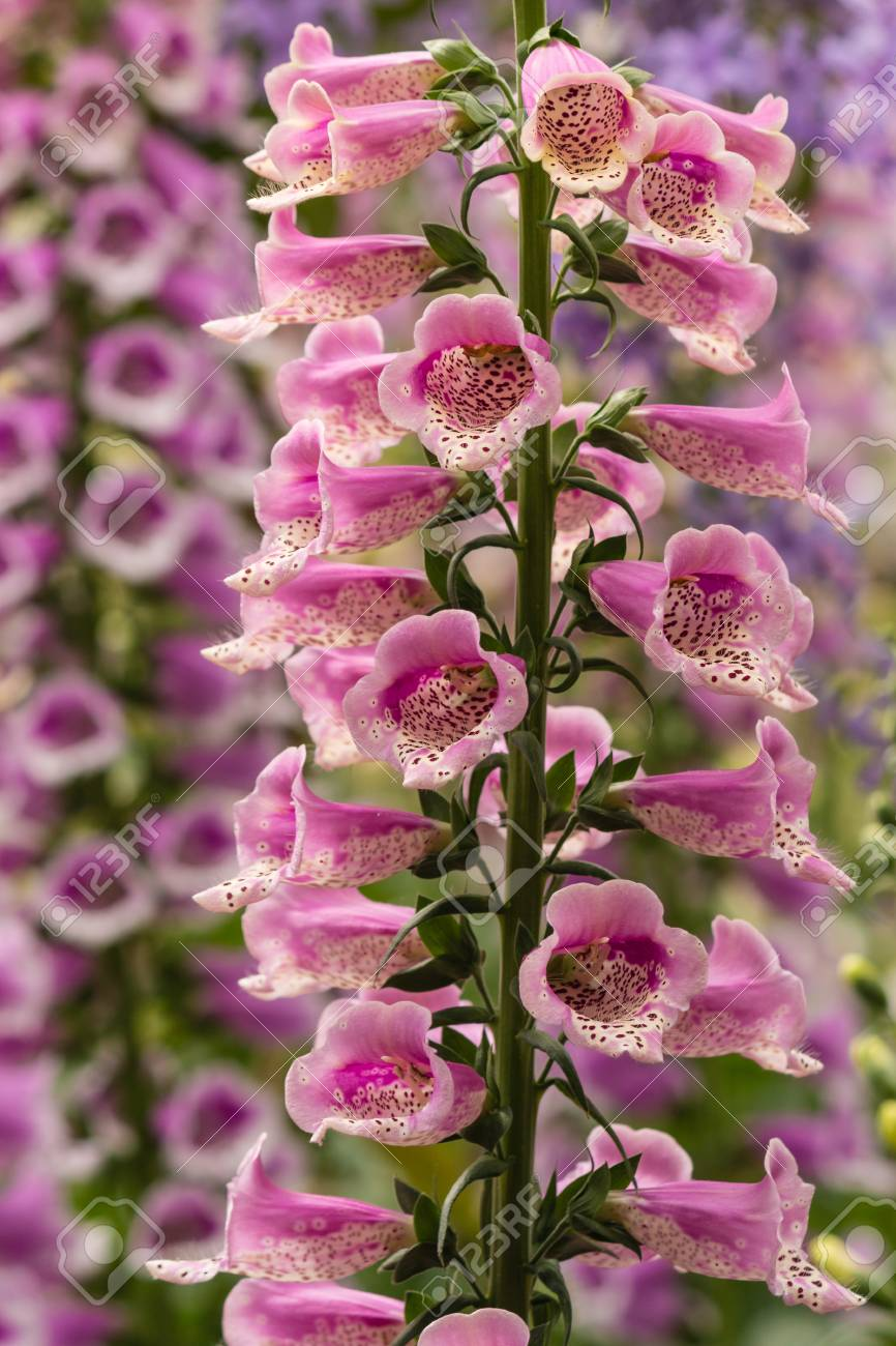 Pink Foxglove Flowers Stock Photo Picture And Royalty Free Image