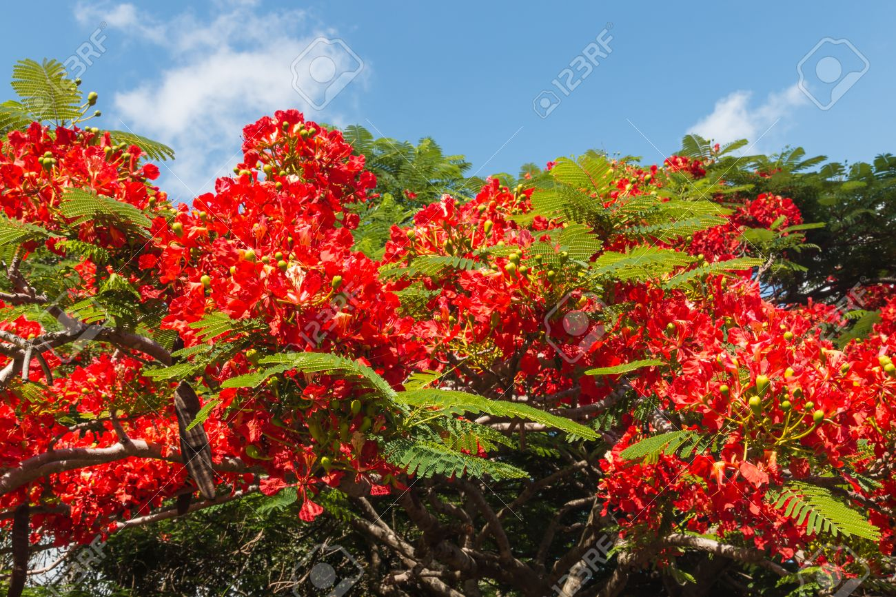 Acacia Tree Red Flowers Stock Photo Picture And Royalty Free Image