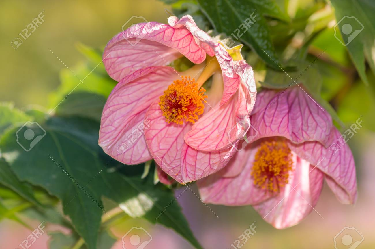 Closeup Of Pink Abutilon Flowers In Bloom Stock Photo Picture And