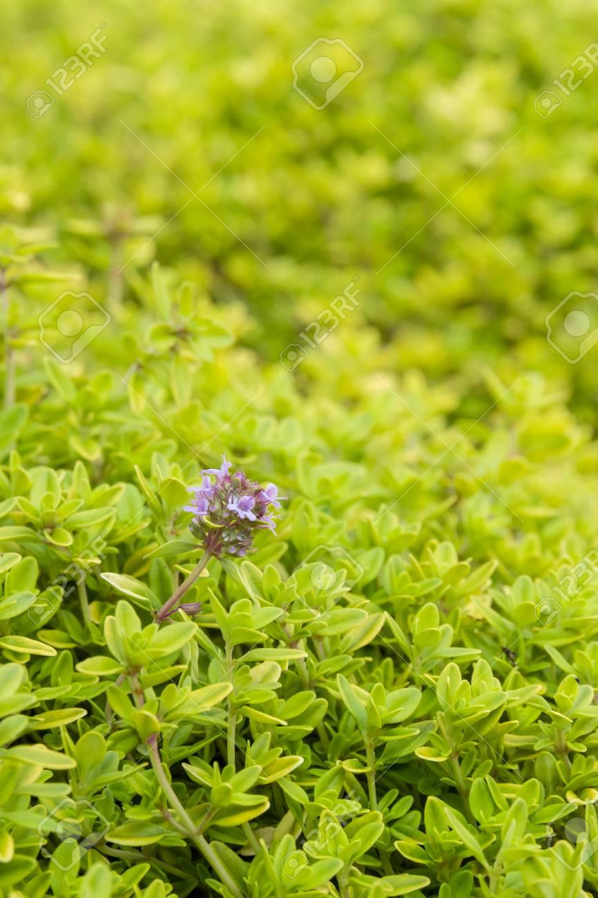 Tiny Thymian Pflanzen Blatter Und Blumen Boden Im Garten Bedeckt