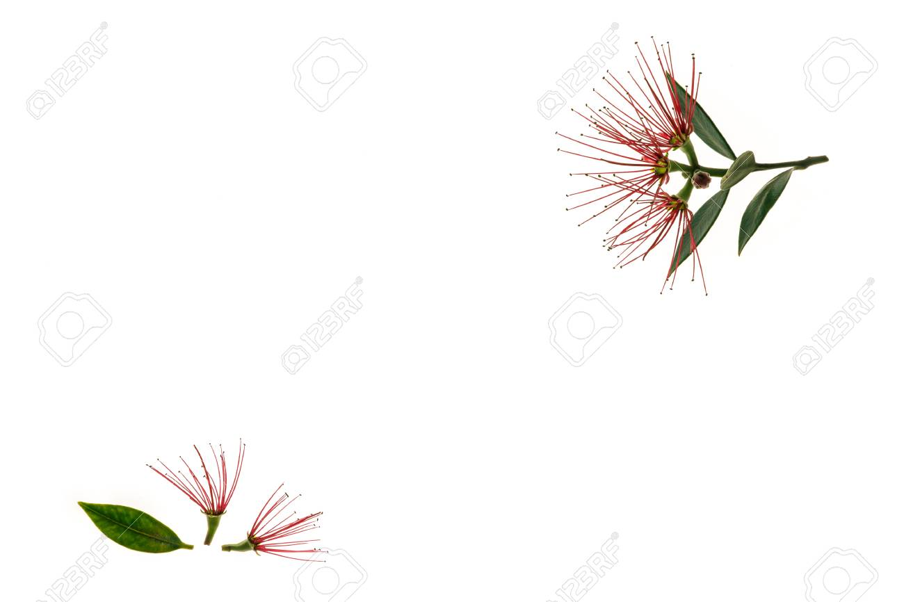 Closeup Of New Zealand Christmas Tree Flowers On White Background