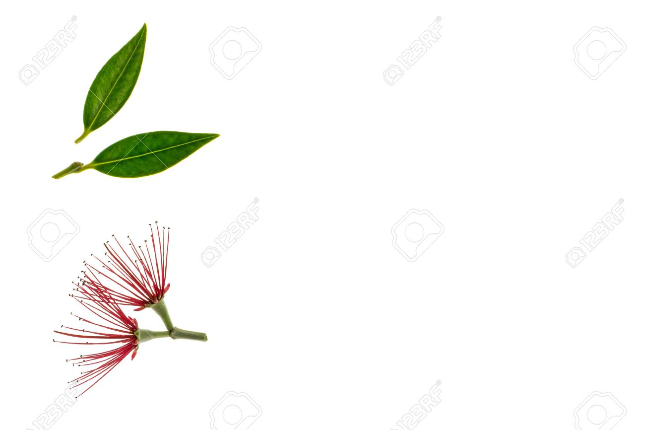 New Zealand Christmas Tree Flowers And Leaves Isolated On White
