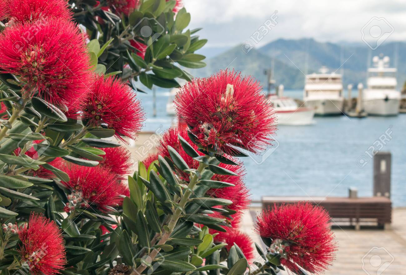 New Zealand Christmas Tree.New Zealand Christmas Tree Flowers In Bloom With Blurred Background