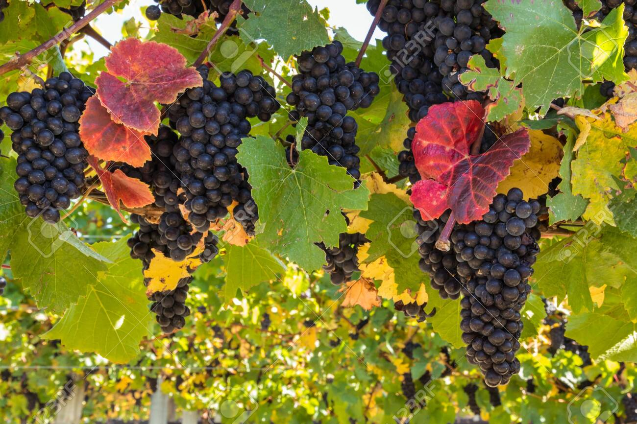 bunches of ripe Pinot Noir grapes on vine in vineyard at harvest time with blurred background and copy space - 150082421