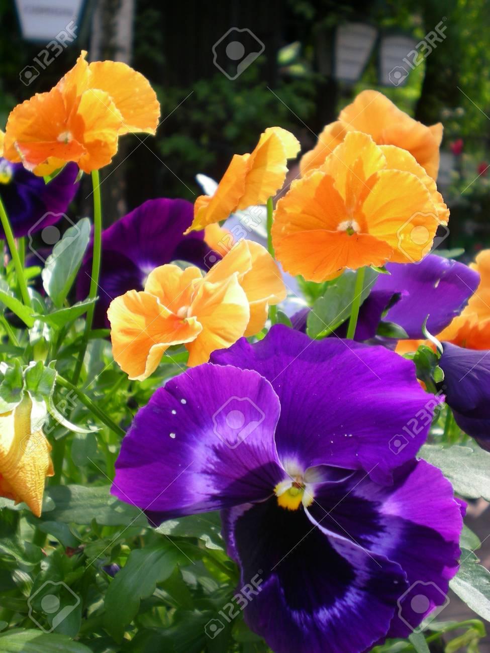 Un Buisson Mignon De Fleurs De Pensee Avec La Pensee Orange Et La
