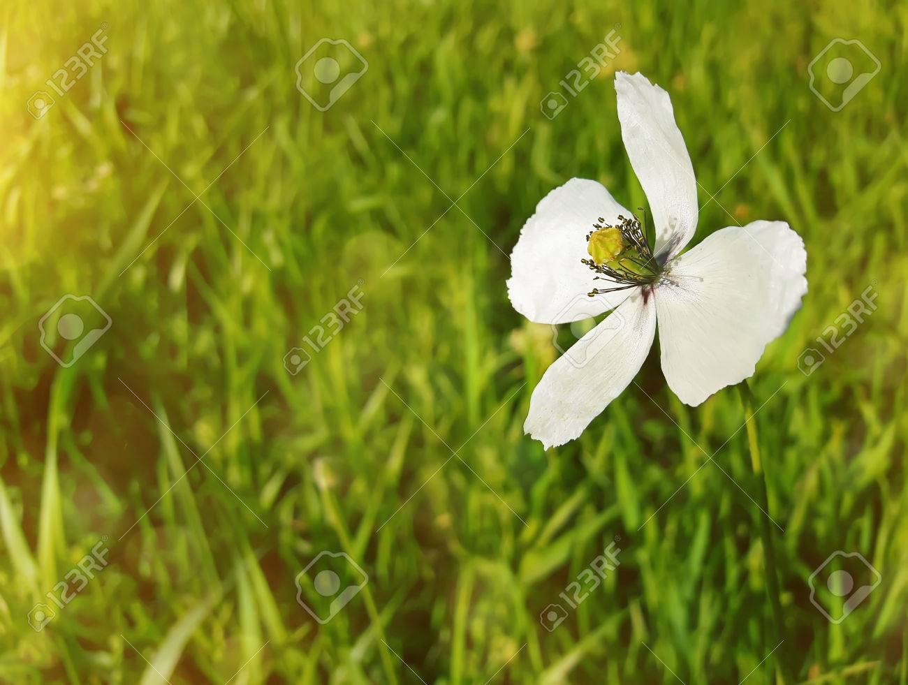 Summer meadow on bright sunny day as a single white flower shine stock photo summer meadow on bright sunny day as a single white flower shine in the green grass mightylinksfo