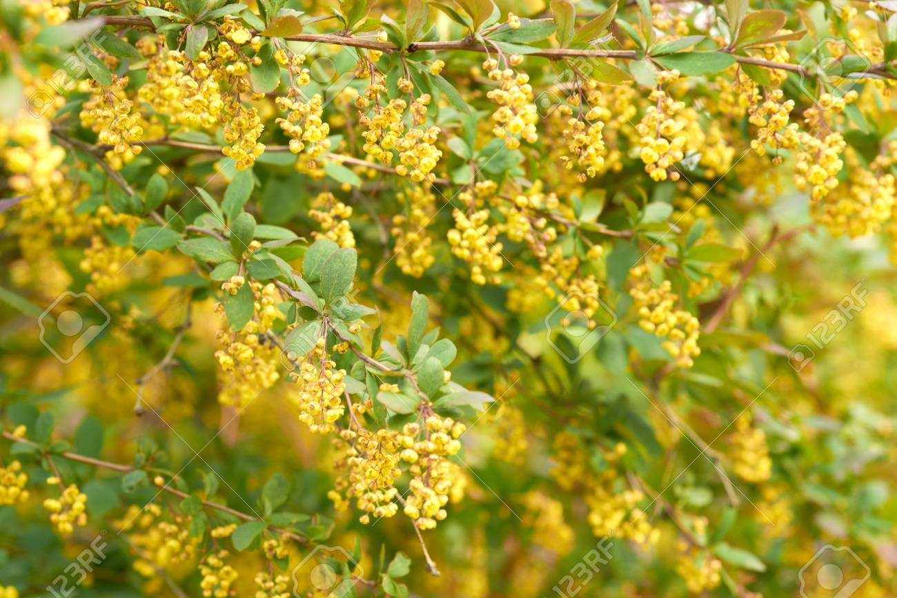 Spring Bush Blossoming In Yellow Flowers Stock Photo Picture And