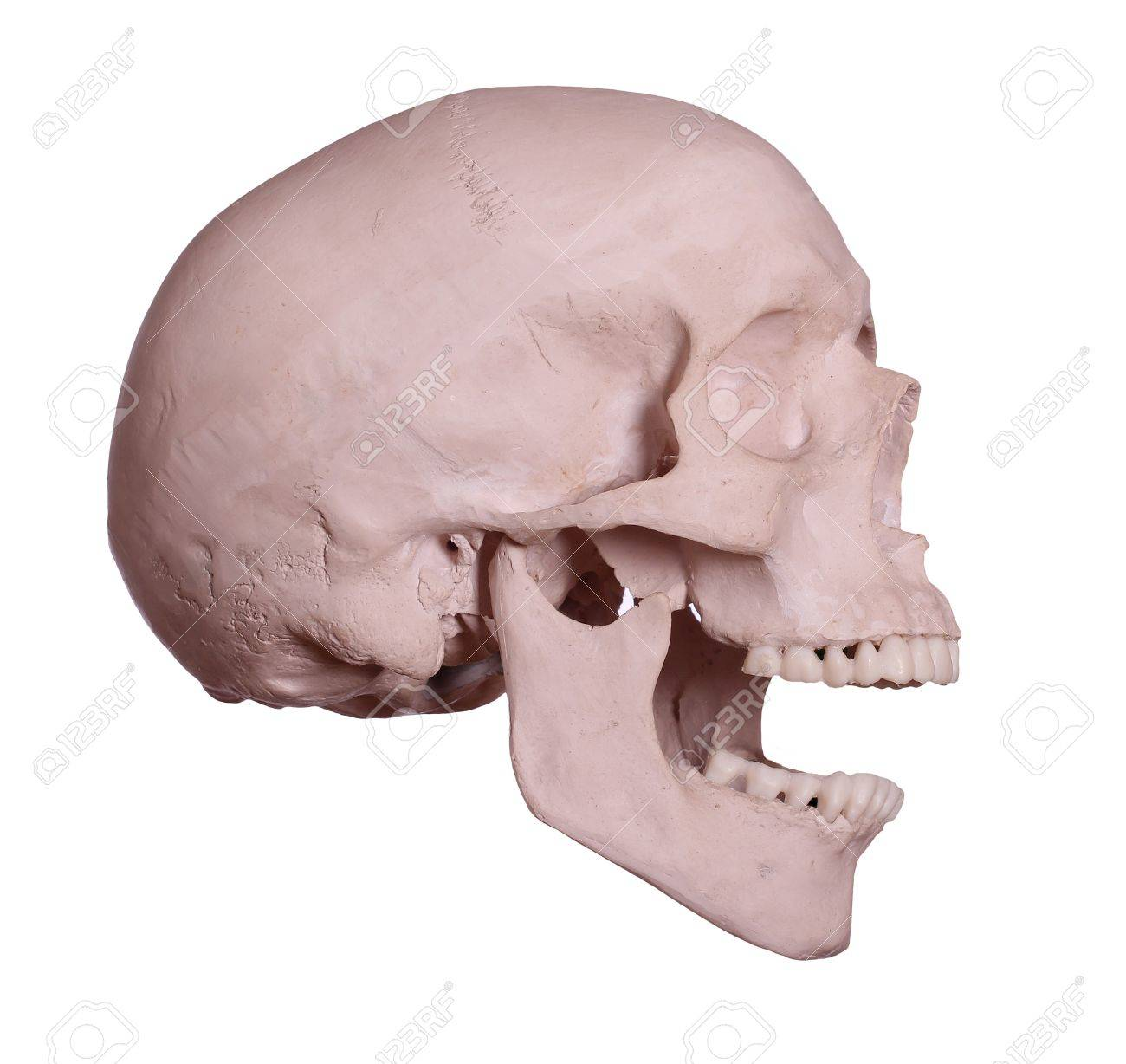 screaming skull Stock Photo - 17612211