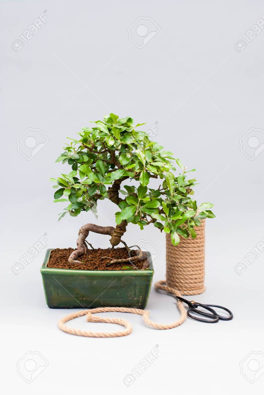 https://previews.123rf.com/images/ptizzadodo/ptizzadodo1703/ptizzadodo170300041/74680304-bonsai-sur-un-fond-gris-clair-avec-des-ciseaux-pour-prendre-soin-de-plantes-d-int%C3%A9rieur-.jpg
