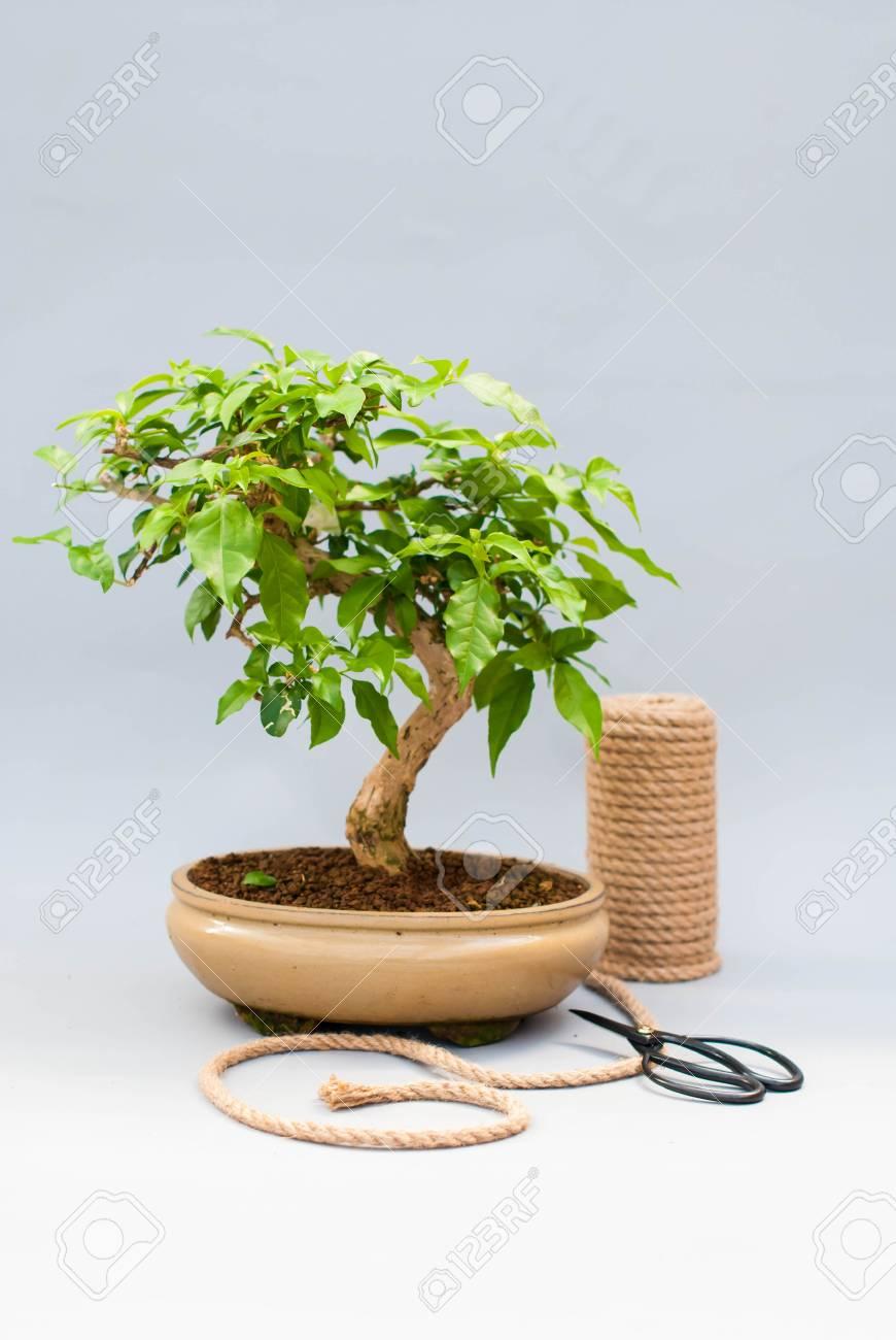 https://previews.123rf.com/images/ptizzadodo/ptizzadodo1703/ptizzadodo170300042/74678513-bonsai-sur-un-fond-gris-clair-avec-des-ciseaux-pour-prendre-soin-de-plantes-d-int%C3%A9rieur-.jpg