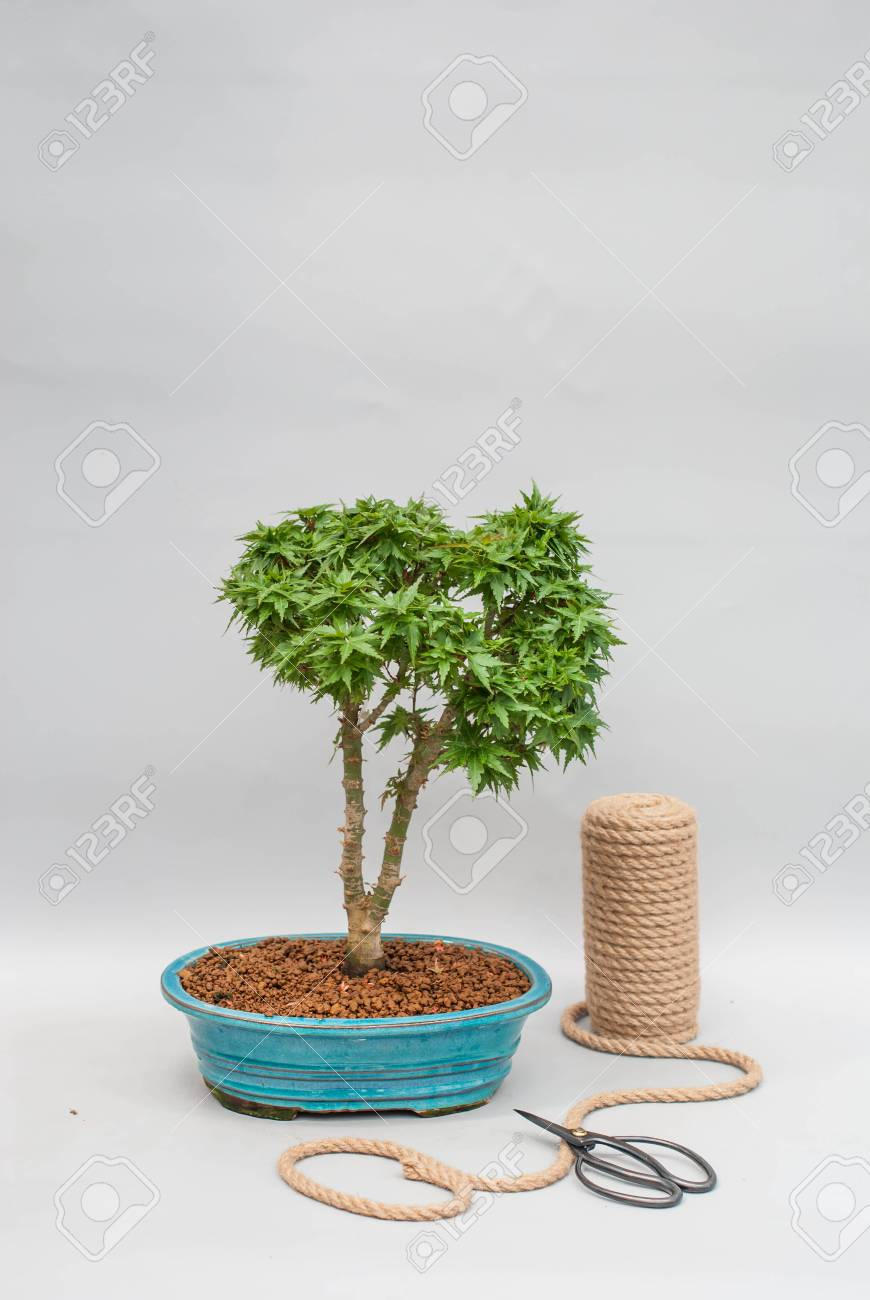 Japanese bonsai in a ceramic pot for indoor plants