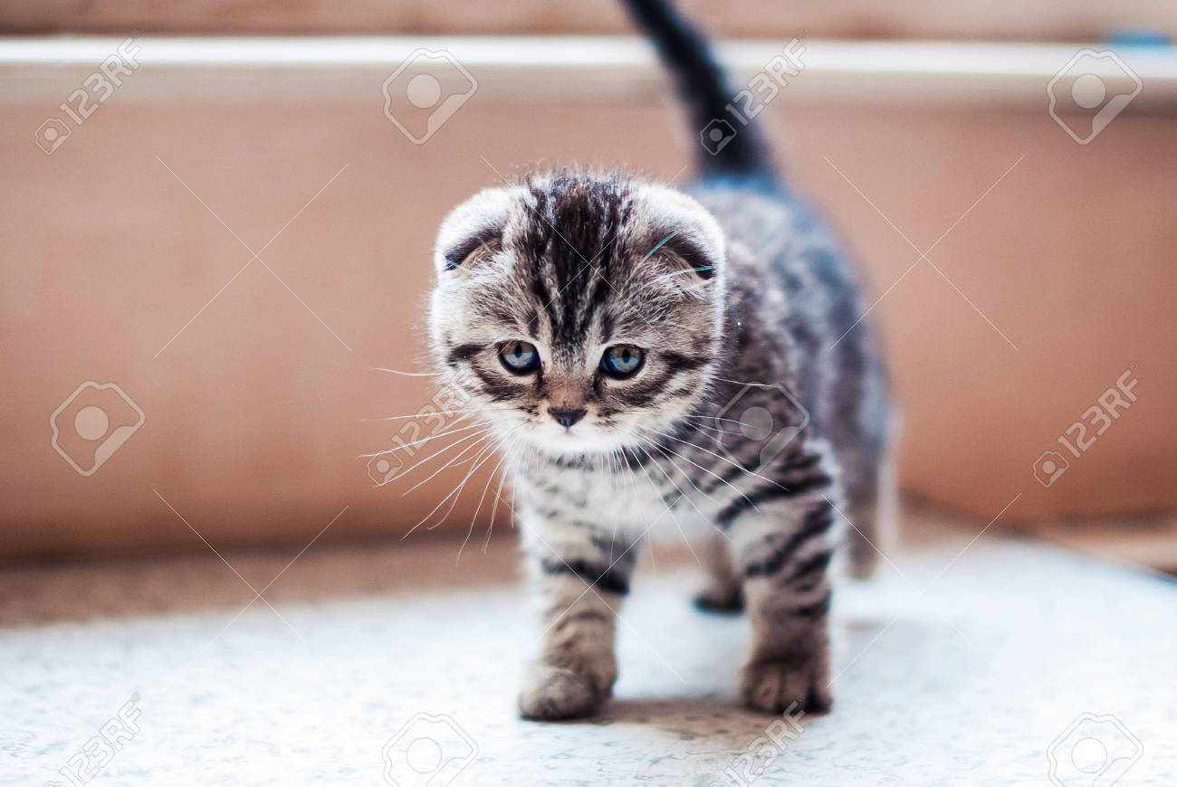 Little Scottish Fold Kitten Striped Silver Color With Gray Eyes Stock Photo Picture And Royalty Free Image Image 88314980