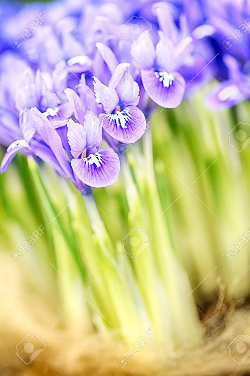 Blooming purple iris reticulata Harmony, a macro photograph Stock Photo - 21231638