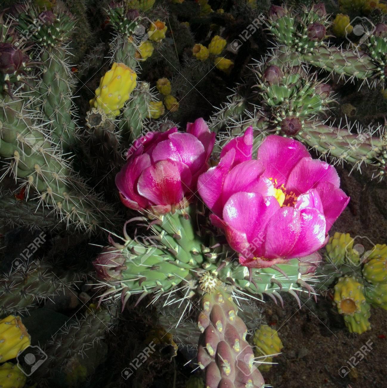 Arizona cochise county cochise - 78 Canechollalowers Cochise County Arizona Usa Cane Cholla Cactus Cylindropuntia Imbricata Magenta Pink Flower