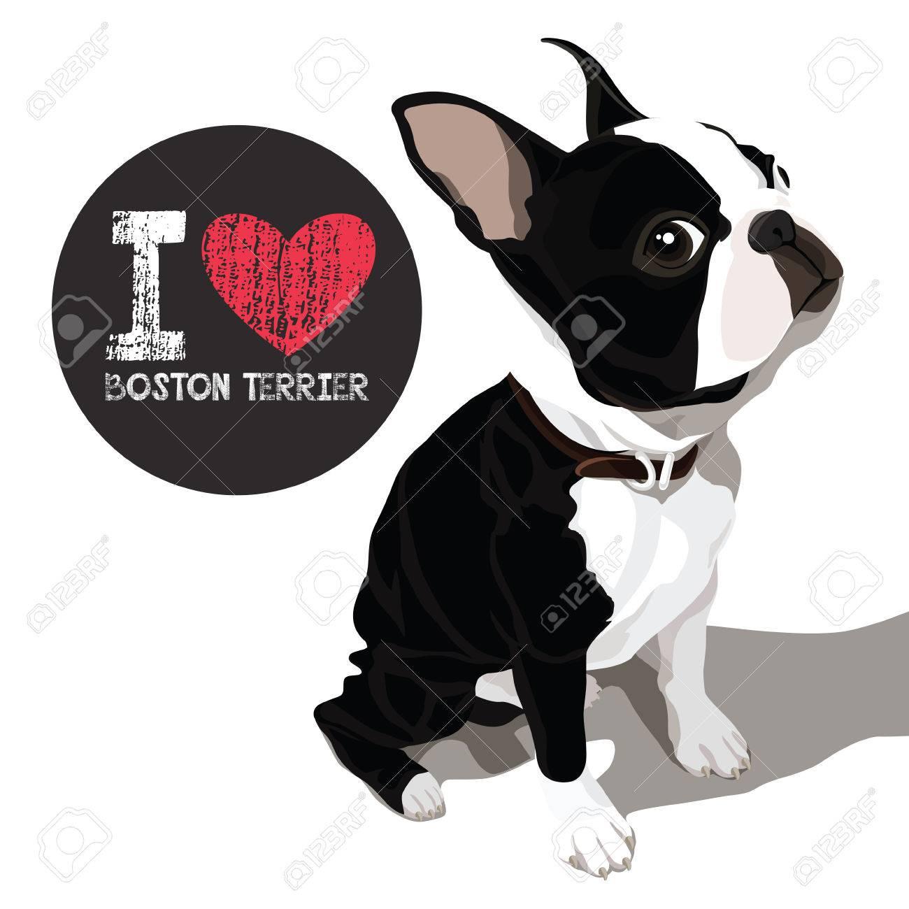 Vector El Retrato Del Primer Del Perro Doméstico Boston Terrier Raza ...