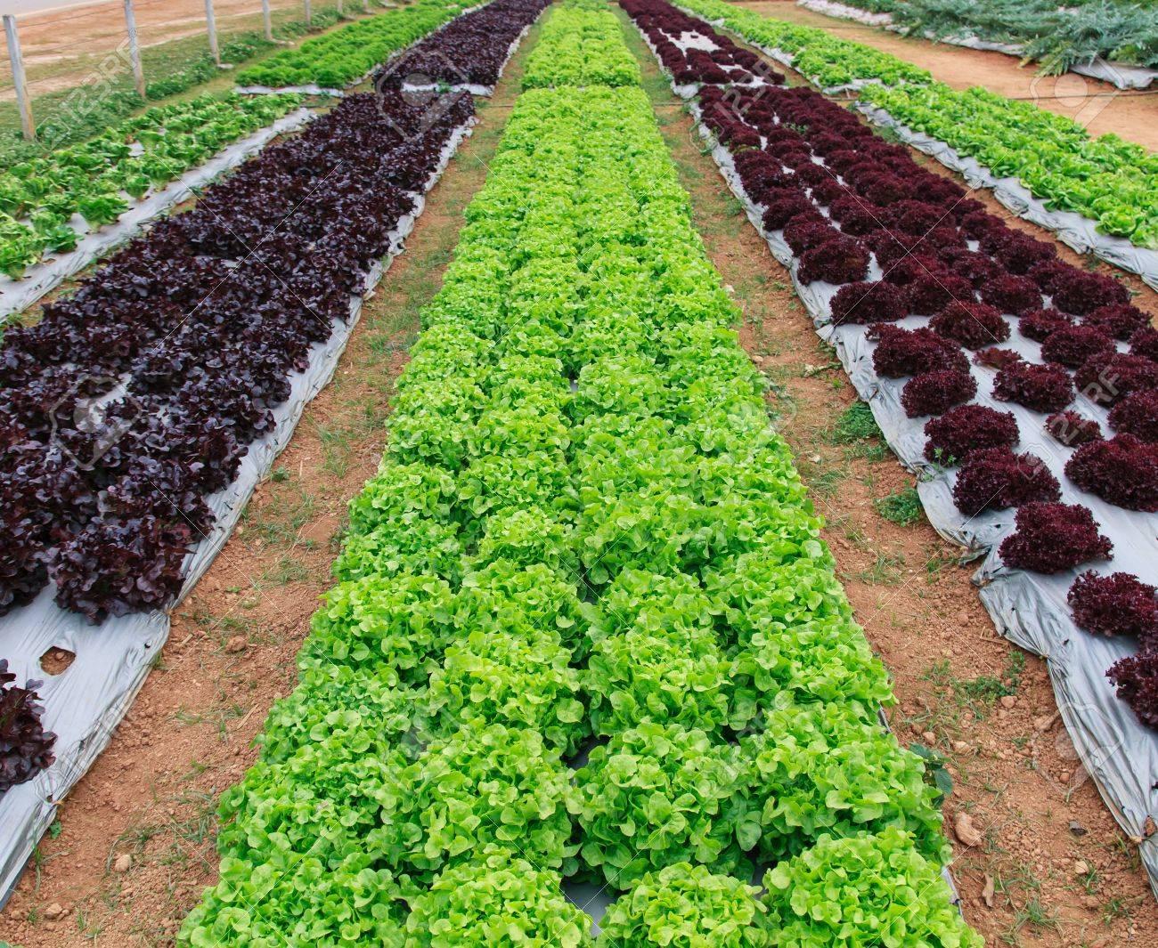 Vegetable garden rows - Growing Lettuce In Rows In The Vegetable Garden Stock Photo 20314608